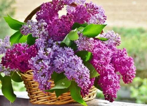 Lilac Flower Basket Flowers Plant Nature Floral