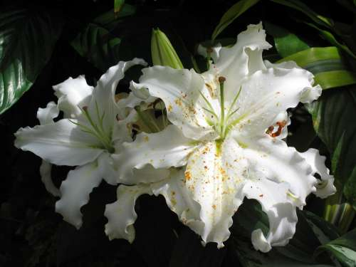 Lilies Asian Lilies Bloom White Floral