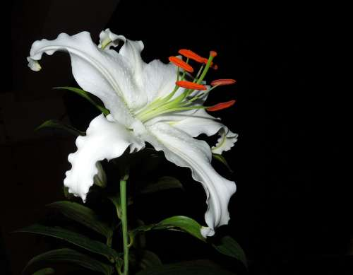 Lily Flower Plant Blossom Bloom