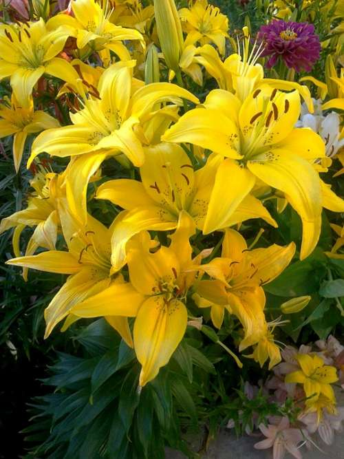 Lily Nature Flowers Bloom Yellow Lilies Dacha