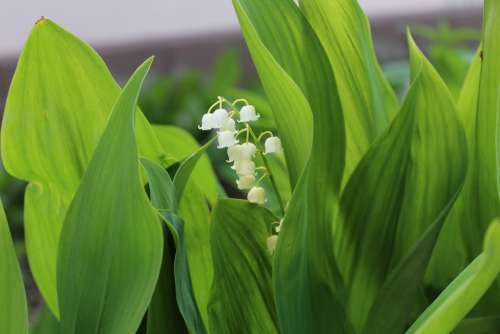 Lily Of The Valley Green Leaves Wide Spring Plant