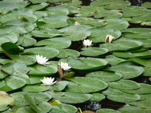 Lily Pad Pond Water Green Flower Nature Plant