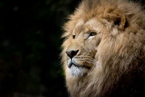 Lion Wild Africa African Felines Zoo Fauna Tawny