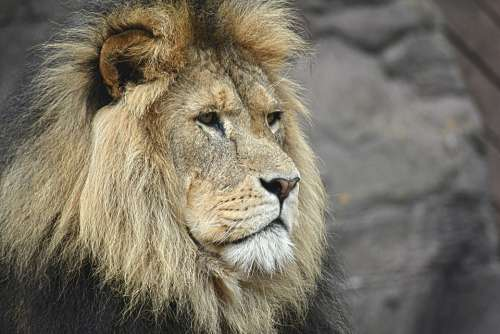 Lion Majestic Felline King Wildlife Africa Asia