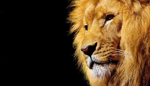 Lion Wild Animal Dangerous Animal Africa Wildcat