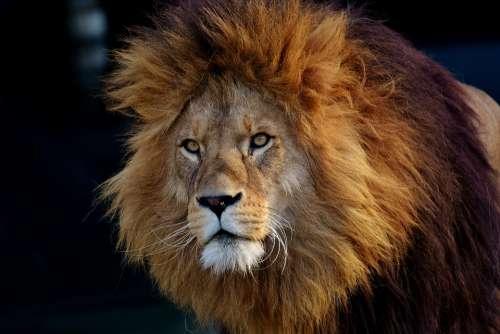 Lion Predator Dangerous Mane Big Cat Male Zoo