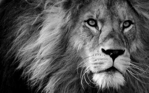 Lion Predator Black And White Dangerous Mane