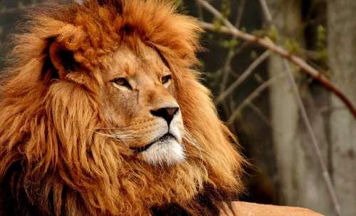 Lion Predator Dangerous Mane Big Cat Male