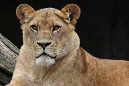 Lion Panthera Leo Lioness Animal World Africa