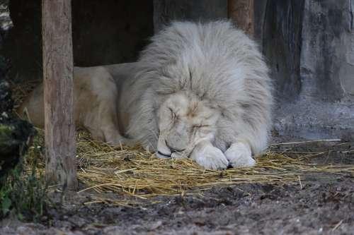 Lion White Lion Zoo Moons Predator Carnivores