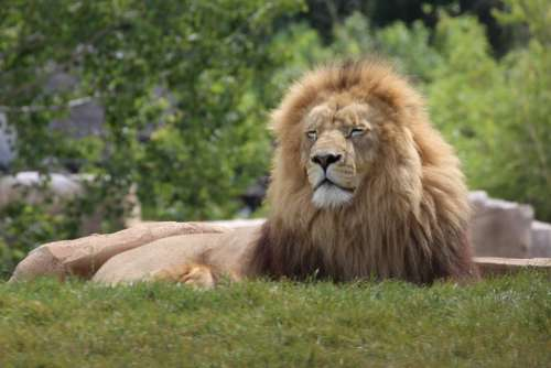 Lion Animals Wild Feline Tawny