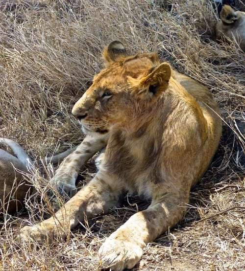 Lion Safari Africa Wildlife Wildcat