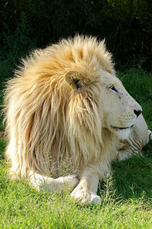 Lion White Lion Animal Males Predator Mane Nature