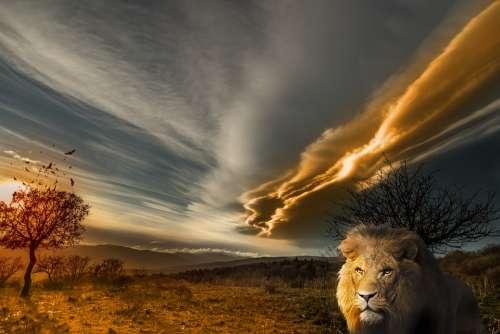 Lion Animal Prairie Landscape Sun Tawny Wild