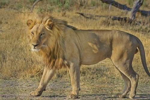 Lion Wildcat Safari Africa Animal World Wildlife