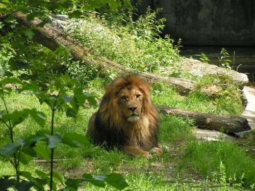 Lion King Of The Beasts Big Cat