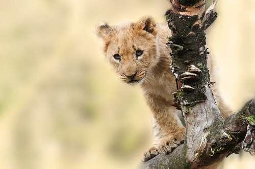 Lion Animal Nature Predator Big Cat Wild