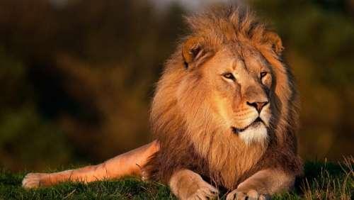Lion Lion King Forest King Lion