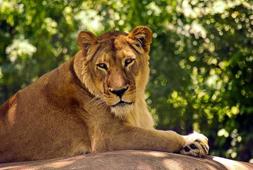 Lion At Madison Zoo Lion Cat Animal Predator