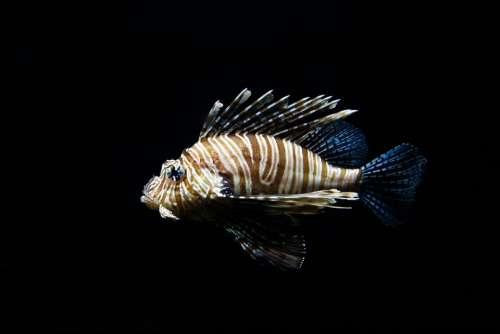 Lion Fish Aquarium Nature Animal Fish Sea