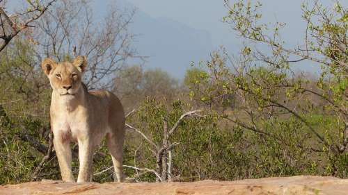 Lioness Majestic South Africa Wallpaper