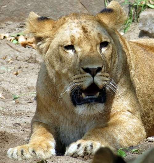 Lioness Wildcat Predator Zoo Lion Animal Mammal