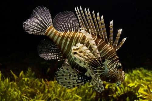 Lionfish Aquarium Sealife Tropical Underwater