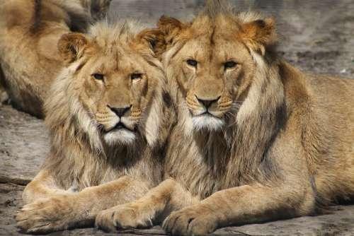 Lions Zoo Animal Safari Africa Big Cats
