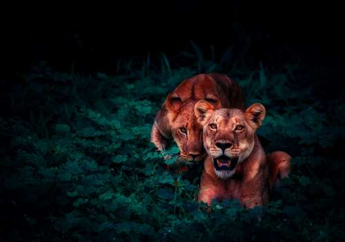 Lions Cubs Pair Jungle Nature Outside Outdoors