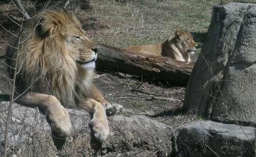 Lions Pride Wildlife Lion King Mane Feline