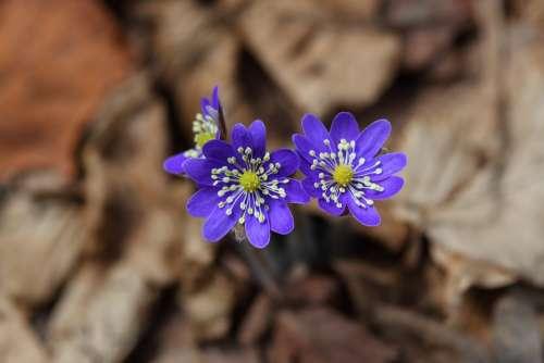 Liverwort Wildflower Flowers Lilac Blue Nature