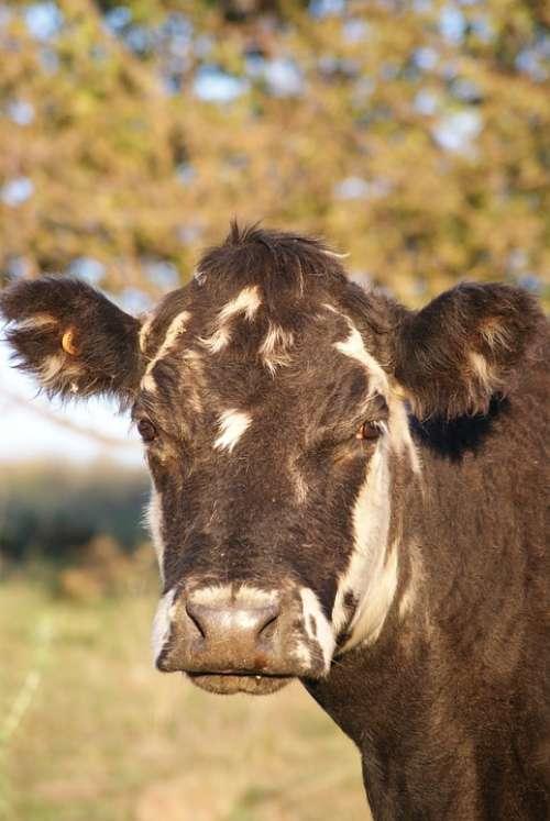 Livestock Agriculture Farm Cow
