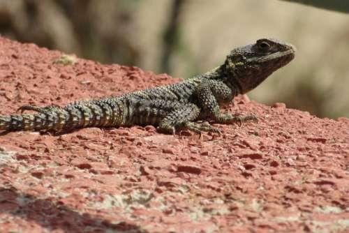 Lizard Wall Reptile Muurhagedis Animal World