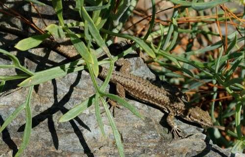 Lizard Reptile Sun Stone Animal Wild Wildlife