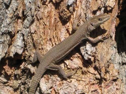 Lizard Spring Vigilant