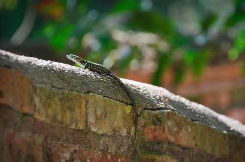 Lizard Animal Wildlife Crawling Crawl Tail