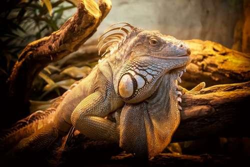 Lizard Close Up Nature Reptile Animal Creature