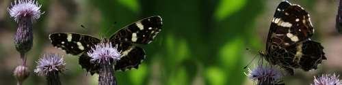 Lndkärtchen Araschnia Levana Edelfalter Butterflies