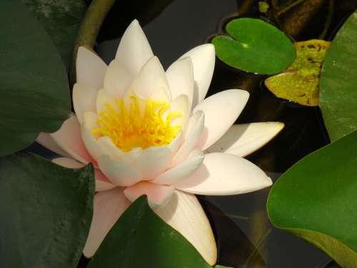 Lotus Flower Nature Lake