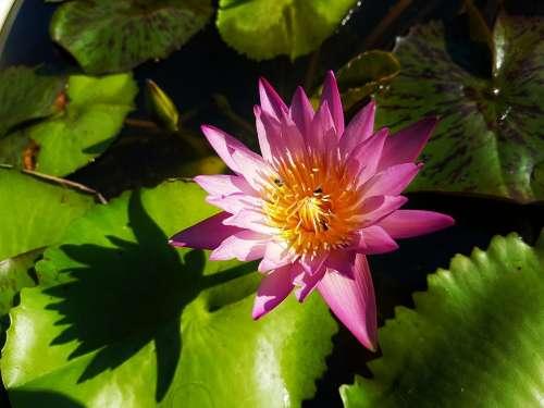 Lotus Pink Flower Pink Flowers Pink Lotus
