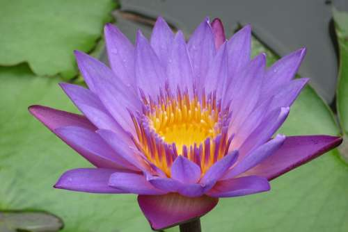 Lotus Sri Lanka Pond Petals Nature Water Plant