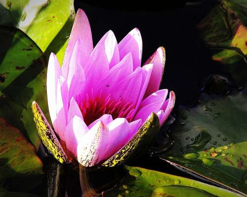 Lotus Pink Lily Pond Waterhole Bloom Aquatic