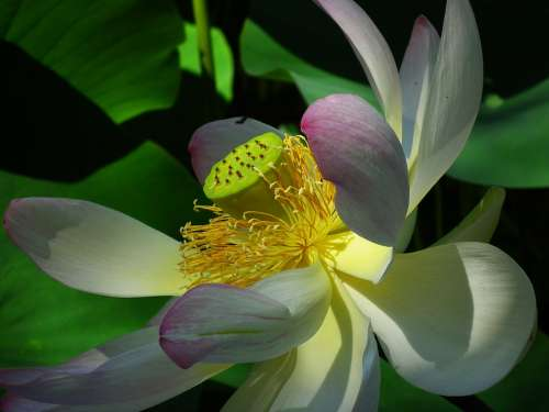 Lotus Flower Pink Nature Aquatic Plant