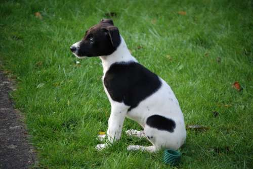 Lurcher Puppy Canine Dog Pet Black White Sitting
