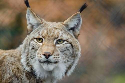 Lynx Bobcat Wildlife Predator Nature Outdoors