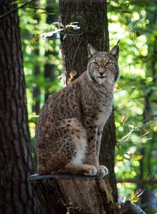 Lynx Wildcat Big Cat Wild Animal Predator