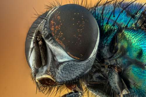 Macro Fly Compound Eyes Insect Green Eyes Nature