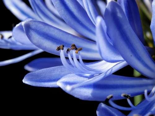 Macro Approach Pollen Blue White Bluish Flower
