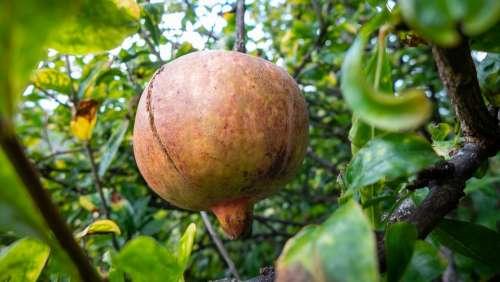 Madeira Portugal Fruit Pomegranate Punica Granatum