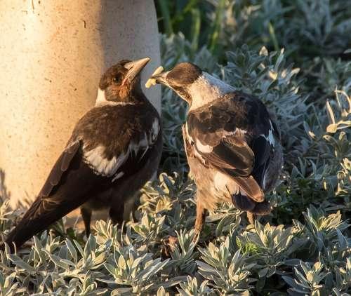 Magpies Australian Magpies Cracticus Tibicen Mother